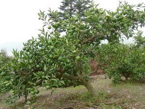 すだちの果樹